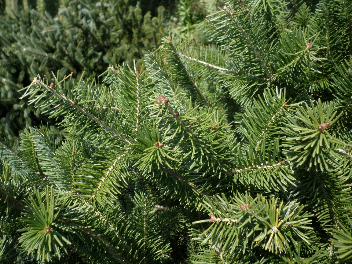 Canadian Fir Branch